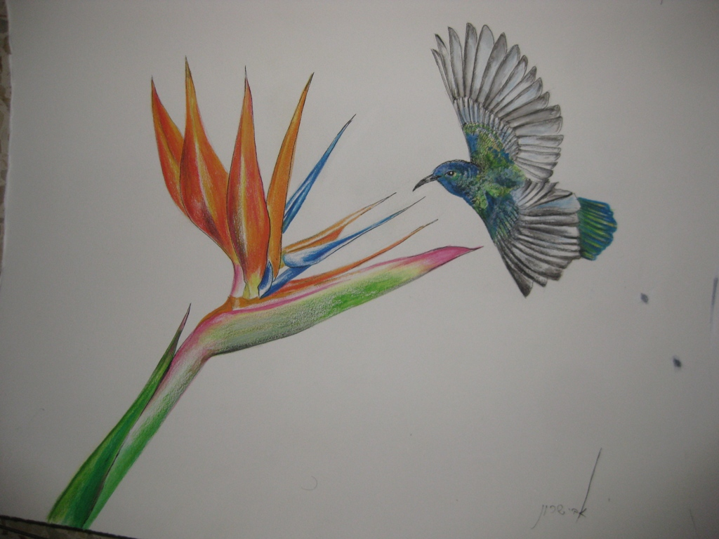 Bird of Paradise Flower  H 38 cm x  W 32 cm Colored Pencils & Ink